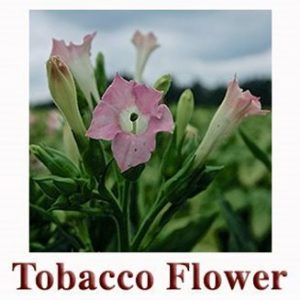 0000211_tobacco-flower-essential-oil-2ml_328